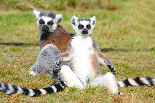 rsz_lemur
