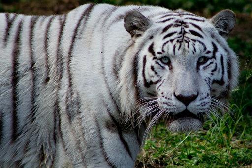 rsz_tigre